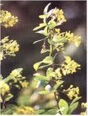 kilmora flower in Almora
